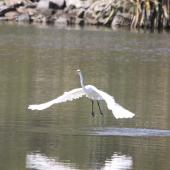 White heron. Adult gliding. Lake Okarito, February 2012. Image © Bart Ellenbroek by Bart Ellenbroek