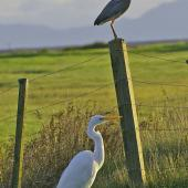 White heron. Size comparison with white-faced heron. Miranda. Image © noel by noel
