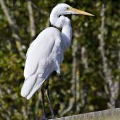 White heron. Adult in non-breeding plumage. Miranda, March 2012. Image © Raewyn Adams by Raewyn Adams
