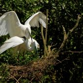 White heron. Breeding pair mating at the nest. Waitangiroto River, South Westland, November 2013. Image © Glenda Rees by Glenda Rees http://www.flickr.com/photos/nzsamphotofanatic/