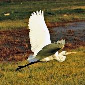 White heron. Adult in flight. Miranda. Image © Noel Knight by Noel Knight