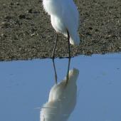 White heron. Adult non-breeding bird preening. Miranda, June 2010. Image © Koos Baars by Koos Baars