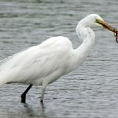 White heron. Adult (coming into breeding plumage) with young eel. Wattle Farm Wetlands Reserve, Manukau Harbour, October 2015. Image © Oscar Thomas by Oscar Thomas https://www.flickr.com/photos/kokakola11/