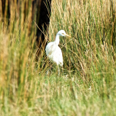 Cattle egret. Non-breeding adult among cattle. Cape Reinga Road, May 2015. Image © Les Feasey by Les Feasey