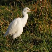 Cattle egret. Non-breeding adult. Mokau, May 2011. Image © Duncan Watson by Duncan Watson