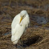 Cattle egret. Non-breeding adult preening. Weggery Drive lagoon, May 2015. Image © Roger Smith by Roger Smith