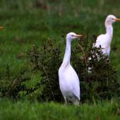 Cattle egret. Adults moulting out of breeding plumage. Foxton, March 2006. Image © Alex Scott by Alex Scott