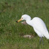 Cattle egret. Bird with cricket. Western Treatment Plant, Werribee, Victoria, Australia, May 2012. Image © Sonja Ross by Sonja Ross