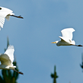 Cattle egret. In flight, part of a flock of 18. Unahi, Northland, June 1015. Image © Les Feasey by Les Feasey