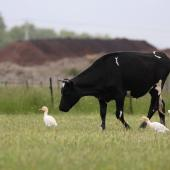 Cattle egret. Adults foraging beside cow. Rural Napier, Hawke's Bay, November 2015. Image © Adam Clarke by Adam Clarke