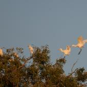 Cattle egret. Birds landing in trees for the night. Ingham, Queensland, Australia, October 2010. Image © Sonja Ross by Sonja Ross