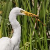 Plumed egret. Adult with frog. Middle Point, Northern Territory. Image © Robert Toneguzzo 2018 birdlifephotography.org.au by Robert Toneguzzo
