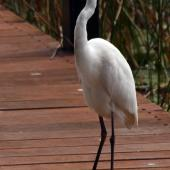 Plumed egret. Adult. Cairns, August 2010. Image © Andrew Thomas by Andrew Thomas