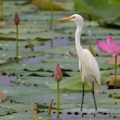 Plumed egret. Adult (non-breeding). Mary River, Northern Territory. Image © Robert Toneguzzo 2018 birdlifephotography.org.au by Robert Toneguzzo