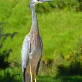 White-faced heron. Front view of adult bird in profile. Stanmore Bay Reserve, March 2011. Image © Heather Whear by Heather Whear