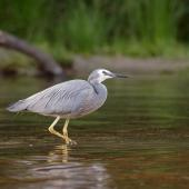 White-faced heron. Adult standing in water. Lake Tarawera, Bay of Plenty, November 2005. Image © Neil Fitzgerald by Neil Fitzgerald www.neilfitzgeraldphoto.co.nz