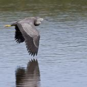 White-faced heron. Juvenile in flight. Little Waihi, Bay of Plenty, March 2014. Image © Raewyn Adams by Raewyn Adams