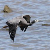 White-faced heron. Adult in flight showing upperwing. Wanganui, December 2012. Image © Ormond Torr by Ormond Torr