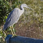 White-faced heron. Immature. Tauranga, July 2011. Image © Raewyn Adams by Raewyn Adams