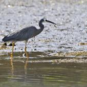 White-faced heron. Adult with crab prey. Little Waihi, February 2012. Image © Raewyn Adams by Raewyn Adams
