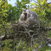 White-faced heron. Two nestlings at rest in the nest. Anderson Park, Napier, November 2014. Image © Adam Clarke by Adam Clarke