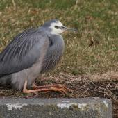 White-faced heron. Adult at rest. Marewa waterway, Napier, July 2013. Image © Adam Clarke by Adam Clarke