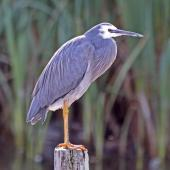 White-faced heron. Adult perched on post. Te Awanga Lagoon, May 2009. Image © Dick Porter by Dick Porter