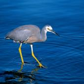 White-faced heron. Adult using feet to flush prey. Lake Taupo, November 2006. Image © Albert Aanensen by Albert Aanensen