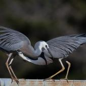 White-faced heron. Courting pair. Foxton Beach, June 2017. Image © Imogen Warren by Imogen Warren