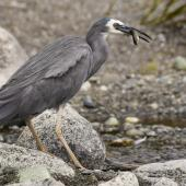 White-faced heron. Adult with juvenile brown trout. Lake Te Anau, February 2016. Image © Anja Köhler by Anja Köhler