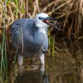 White-faced heron. Adult swallowing a crab. Foxton Beach, April 2017. Image © Imogen Warren by Imogen Warren