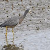 White-faced heron. Adult. Riverton, December 2014. Image © Brian Strong by Brian Strong