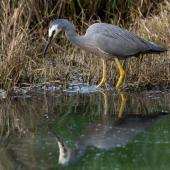 White-faced heron. Adult stirring water with foot to disturb prey. Waimanu Lagoons, October 2014. Image © Roger Smith by Roger Smith