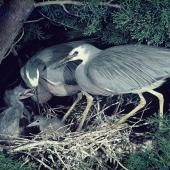 White-faced heron. Pair feeding chicks at nest. . Image © Department of Conservation (image ref: 10035787) by Barry Harcourt, Department of Conservation Courtesy of Department of Conservation