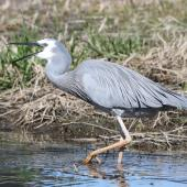 White-faced heron. Adult feeding on tadpole. Foxton Beach, November 2011. Image © Phil Battley by Phil Battley