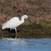 Little egret. Adult foot-raking for prey. Ahuriri estuary, Napier, June 2015. Image © Adam Clarke by Adam Clarke