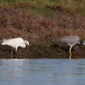 Little egret. Adult foraging in company of white-faced heron. Ahuriri estuary, Napier, June 2015. Image © Adam Clarke by Adam Clarke