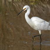 Little egret. Adult. Westshore Wildlife Reserve, August 2015. Image © Gary Stone by Gary Stone