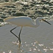 Little egret. Adult hunting for fish in water. Cairns, August 2010. Image © Andrew Thomas by Andrew Thomas
