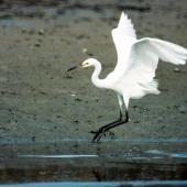 Little egret. Foraging adult. Manawatu River estuary, April 2000. Image © Alex Scott by Alex Scott