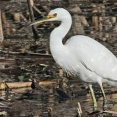 Little egret. Adult. Te Awanga Lagoon, May 2012. Image © Dick Porter by Dick Porter