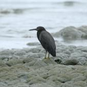 Reef heron. Adult resting on rocks. Kaikoura, February 2007. Image © David Boyle by David Boyle