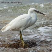 Reef heron. Adult white morph. Fraser Island, Queensland, August 2005. Image © Simon Fordham by Simon Fordham www.naturepix.co.nz