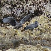 Reef heron. Two fledglings, showing variation in bill colour. Cornwallis Peninsula, Manukau Harbour, November 2015. Image © Jacqui Geux by Jacqui Geux