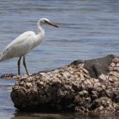 Reef heron. White morph. Kadavu Island, Fiji, October 2013. Image © Craig Steed by Craig Steed
