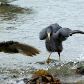 Reef heron. Adult foraging among immature southern black-backed gulls. Owhiro Bay, Wellington, January 2009. Image © Alex Scott by Alex Scott