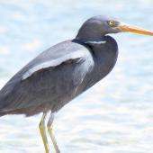Reef heron. Adult. Waipu estuary, Northland, October 2012. Image © Thomas Musson by Thomas Musson