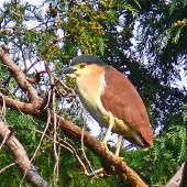 Nankeen night heron. Adult sunning itself outside roost. Kauarapaoa Stream, Whanganui River, April 2009. Image © Peter Frost by Peter Frost