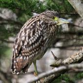 Nankeen night heron. Juvenile,dorsal view. Wanganui, July 2013. Image © Ormond Torr by Ormond Torr