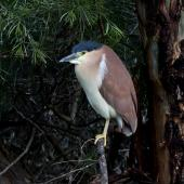 Nankeen night heron. Adult breeding. Laratinga Wetlands, South Australia, September 2015. Image © John Fennell by John Fennell